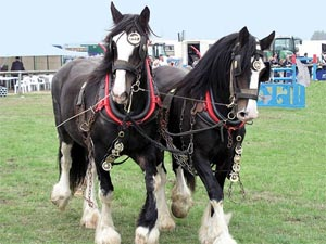 Cotebrook Shire Horses
